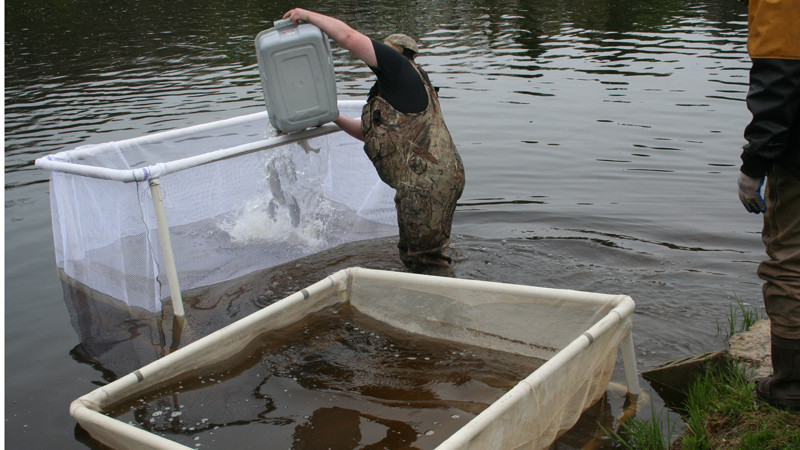 Tagged trout are brought to recovery pen in river