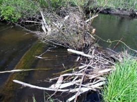 Beaver dam before removal