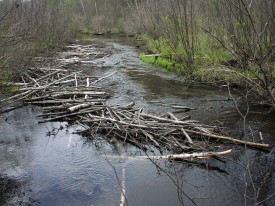 Beaver Food cache obstructs flow