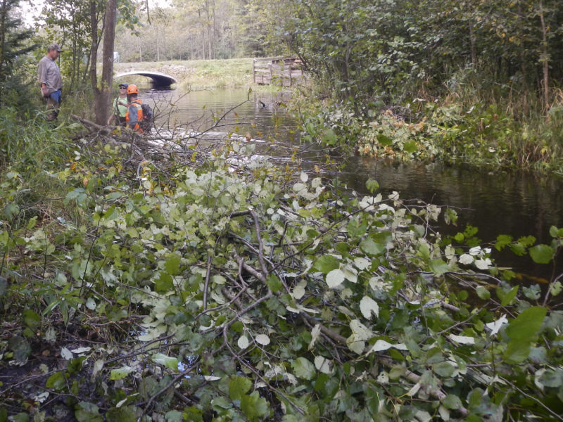Crew moving downstream to place cut Alder