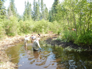 Cutting tag alders and covering with sediment
