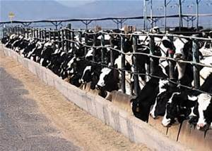 Cows packed in tight (CAFO)